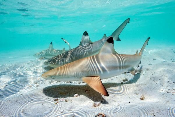 Schwarzspitzenriffhai (Carcharhinus_Melanopterus)